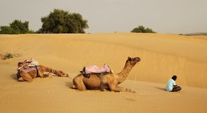 Camels and guide Stock Photos