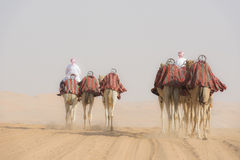 Camels guided Royalty Free Stock Photo