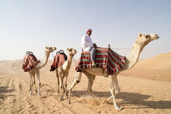 Camels. Guided camels in desert of Abu Dhabi, U.A.E stock photo