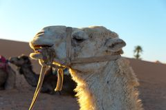 Camels in erg chebbi royalty free stock images