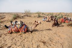 Camels in harnesses lying on sandy ground. In Altai, Russia royalty free stock photos