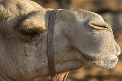 Camels head Royalty Free Stock Images