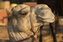 Camels head Stock Photos