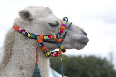 Camels head with colorful bridle Royalty Free Stock Images