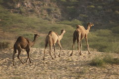 Camels Head Home From The Pushkar Fair Royalty Free Stock Photos