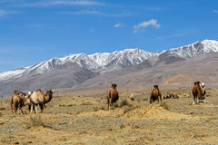 Camels herd graze mountains Royalty Free Stock Photo