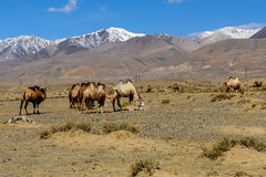 Camels herd graze mountains Royalty Free Stock Photos
