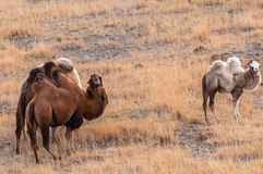 Camels herd graze mountains Royalty Free Stock Photography