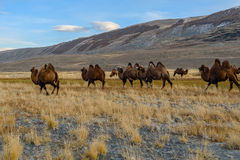 Camels herd graze mountains Royalty Free Stock Image