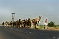 Camels on highway in India Stock Image