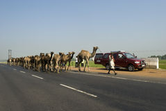 Camels on highway in India. An Indian rural man is leading a group of camels walking on the national highway in India. They travel thousands of miles on their Stock Photos