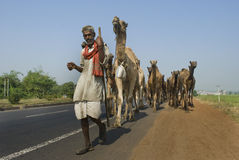 Camels on highway in India. An Indian rural man is leading a group of camels walking on the national highway in India. They travel thousands of miles on their Royalty Free Stock Images
