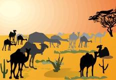 Camels in hot desert Stock Images