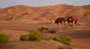 Camels in the hot desert stock photos