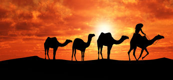 Camels In Sahara Stock Photos