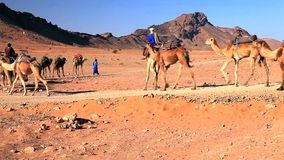 Camels In Sahara Desert Stock Photo