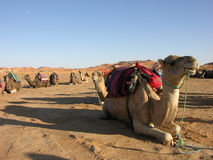 Free Camels In The Desert Royalty Free Stock Image - 21848336