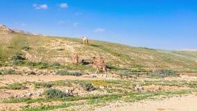 Camels in Israeli desert stock footage