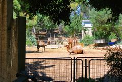 Camels in the Israeli zoo on a sunny day Royalty Free Stock Image