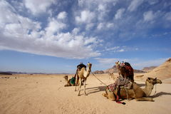 Camels in Jordan desert Stock Photo