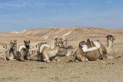 Camels in Judean desert, Israel Royalty Free Stock Images