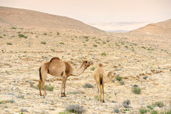 Camels in Judean desert near the Dead sea Stock Photo