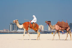 Camels on Jumeirah Beach, Dubai Stock Image