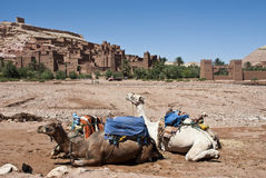 Camels and Kasbah. Camels in foreground and Ait-Ben-Haddou kasbah in background (Morocco Royalty Free Stock Photos