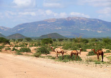 Camels in Kenya, Africa. Mountain landscape. Plants and trees ar Stock Photography