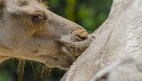 Camels kiss Stock Images