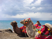 Camels beside the lake Royalty Free Stock Images