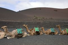 Camels in Lanzarote Royalty Free Stock Photos