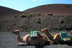 Camels on Lanzarote Royalty Free Stock Images