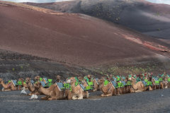 Camels in Lanzarote Stock Photography