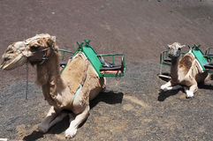 Camels in Lanzarote Royalty Free Stock Images