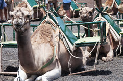 Camels in Lanzarote Royalty Free Stock Photography
