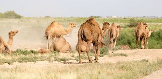 Camels lie in the dust in nature.  Stock Photo
