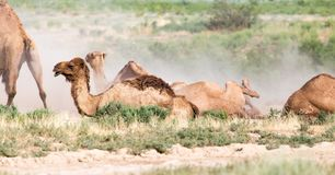 Camels lie in the dust in nature.  Royalty Free Stock Photos