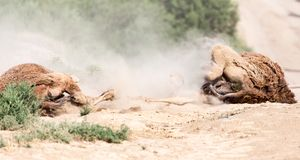 Camels lie in the dust in nature.  Royalty Free Stock Image
