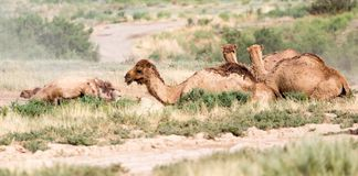 Camels lie in the dust in nature.  Stock Image