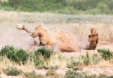 Camels lie in the dust in nature.  Stock Photos