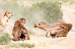 Camels lie in the dust in nature.  Royalty Free Stock Images