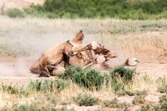 Camels lie in the dust in nature.  Royalty Free Stock Photo
