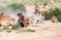 Camels lie in the dust in nature.  Stock Images
