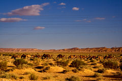 Camels and line Stock Photography