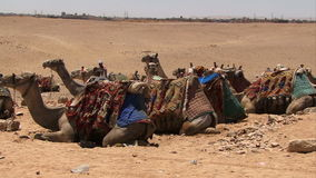 Camels in a line on the desert. Camels in a line sitting down Giza Egypt stock footage