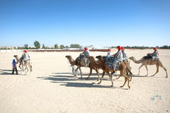 Camels in the line Royalty Free Stock Images
