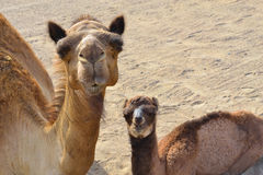 Camels little Family closeup Stock Photo