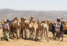 Camels at livestock market. Babile. Ethiopia. Royalty Free Stock Image