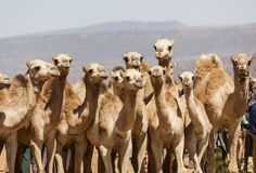 Camels at livestock market. Babile. Ethiopia. Royalty Free Stock Images